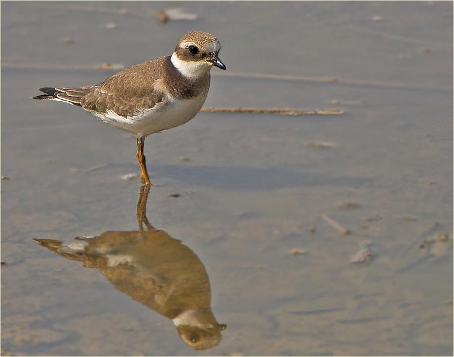 Sandregenpfeifer, Jungvogel