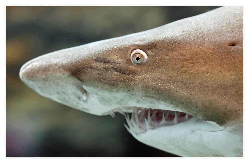 Sandtigerhai (Carcharias taurus)