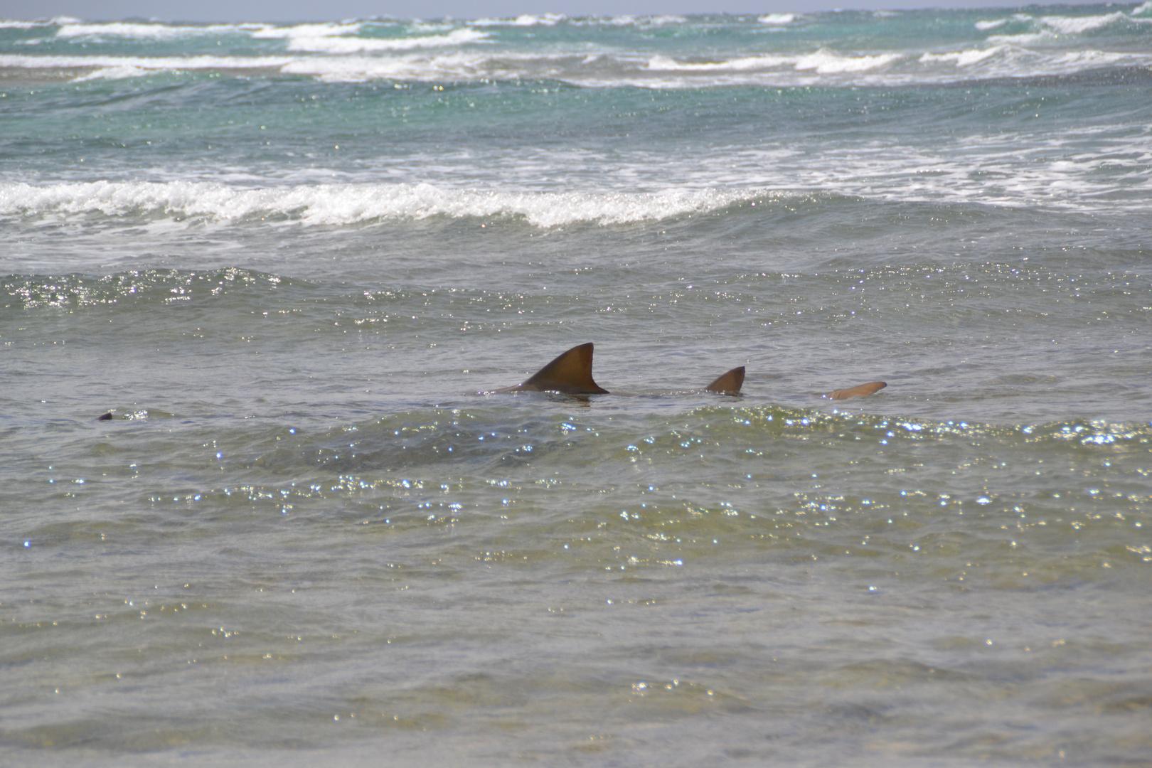 Sandtigerhai vor Boa Vista