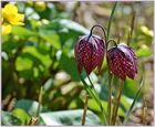 Sanft leuchtet die Schachbrett-Blume