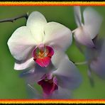Sanfte Orchidee (Reload)
