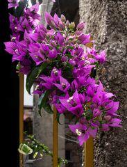 Santa Rita en flor