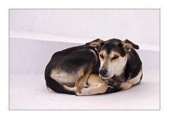 Santorinihund vor Weiß