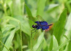 Saphirblaue Libelle