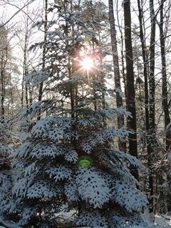 Sapin enneigé avec comme arrière plan le soleil