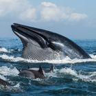 sardine run action