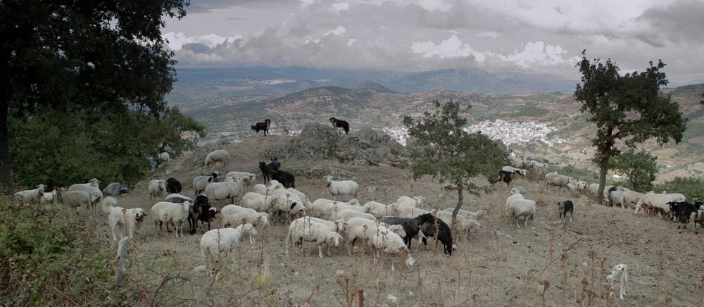 Sardische Schafe