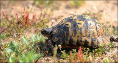 Sardische Schildkröte