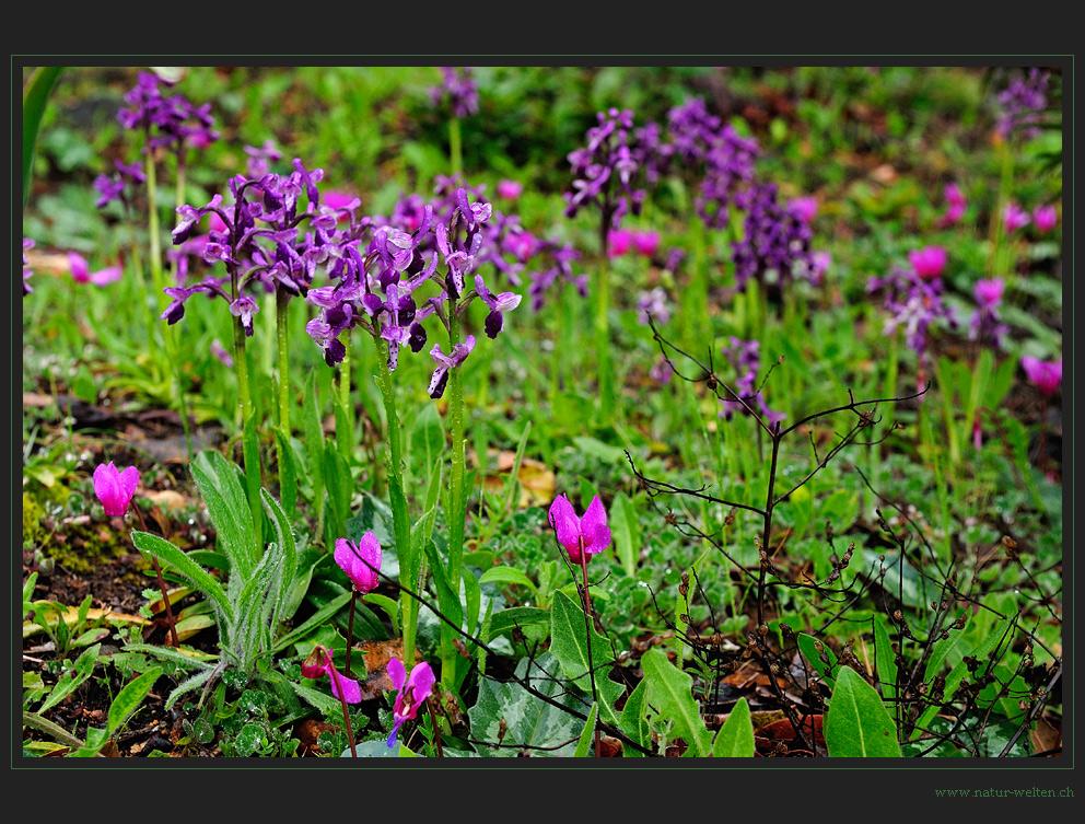 Sardisches Orchideengärtlein