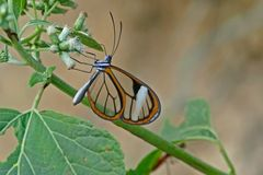 Sarepta Glasswing Hypoleria sarepta