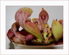 Sarracenia Purpurea II