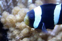 Sattelflecken Anemonenfische