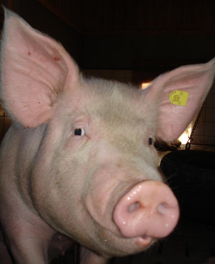Sau, Sou, Ferkel, Eber, Schwein, Pig, Pork, maiale, Schwii, Schweinderl