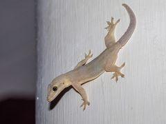 Saumschwanz-Hausgecko