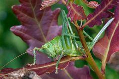 Sauterelle : Tettigonia viridissima femelle juvénile (Tettigoniidae)