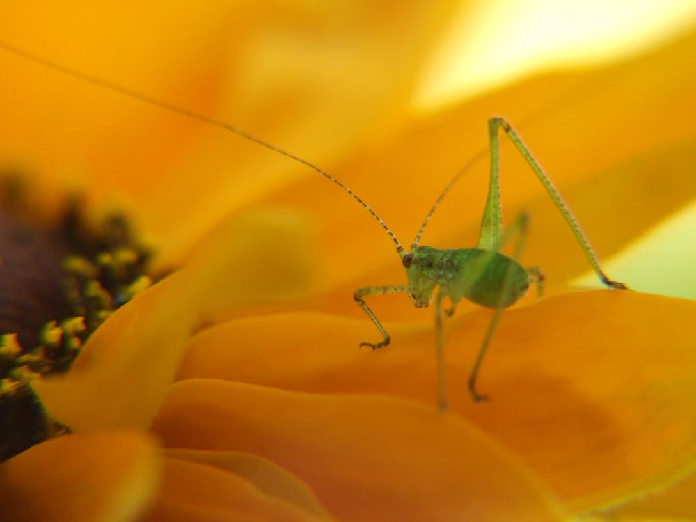 sauterelle verte sur une fleur