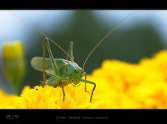 *Sauterelle verte* (tettigonia viridissima)