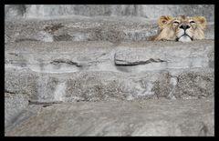 Savannenlandschaft mit Löwe