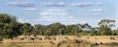 Savannenstreifen an der N'wanetsi River Road (S100 im KNP)