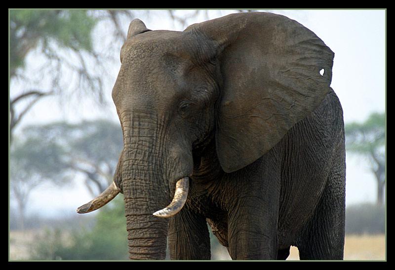 Savutielefant