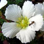 Saxifraga burseriana - Bursers- oder Ostalpensteinbrech
