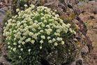 Saxifraga mit einem weißen Blütenmeer im kleinen Felsen aus Tuff und ...