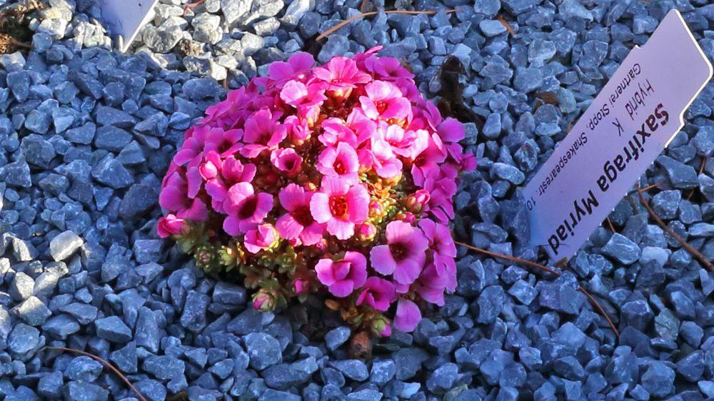 Saxifraga Myriad - ein besonders farbenfroher Hybrid des Steinbrech