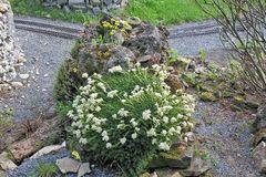 Saxifraga spez. riersengroß im Tuff