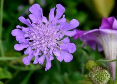 Scabiosen-Blüte im Jardines del Generalife Alhambra