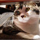 Scamper the Wookie Cat No.3 - Studio Cat