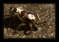 scarabé