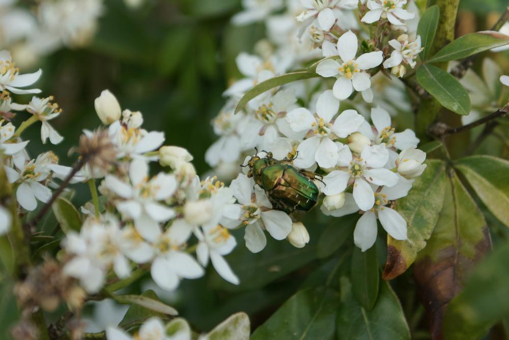 scarabé doré