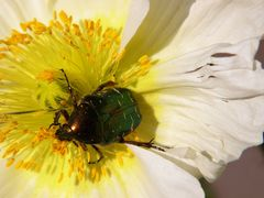 scarabèe aux reflets d or