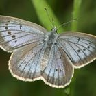 Scarce Large Blue female - Heller Wiesenknopf-Ameisen-Bläuling weibchen - Maculinea teleius