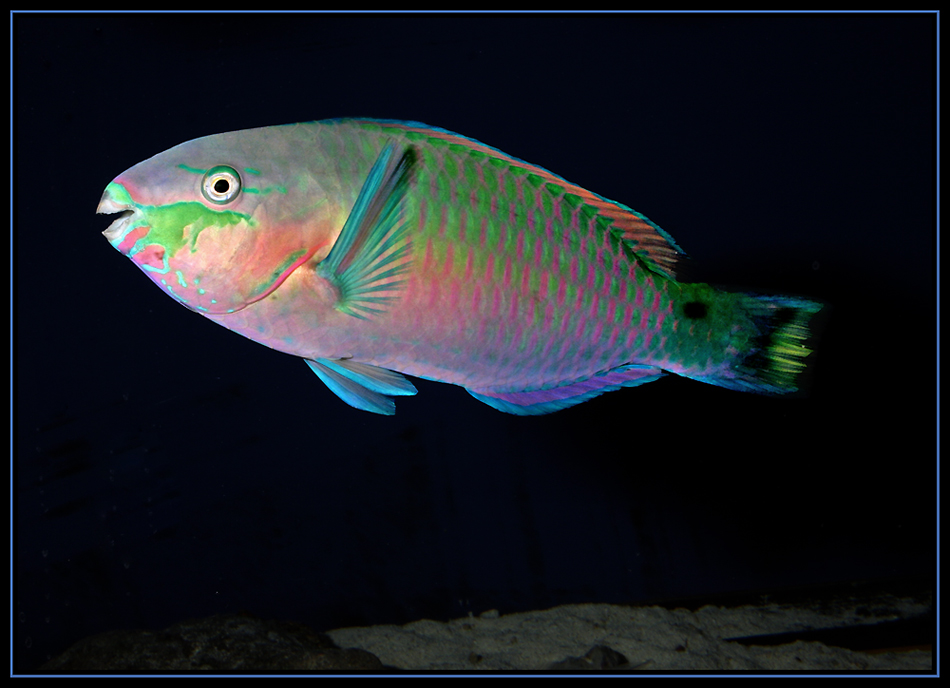 Scarus quoyi - Papageifisch