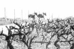Scène hivernale dans le vignoble de Vauvert.