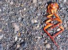 Schabe - Kakerlake - beim Sonnenbad ;-)