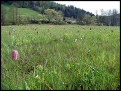 Schachblumenwiesen