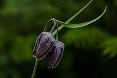 Schachbrettblümchen