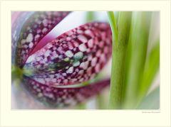 Schachbrettblume (Fritillaria meleagris)