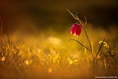 Schachbrettblume im Abendlicht