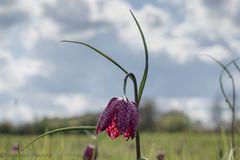 Schachbrettblume im Sonnenlicht