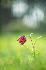 Schachbrettblume rote Variante
