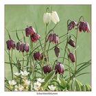 Schachbrettblumen in voller Blüte