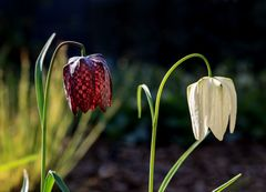 Schachbrettblumen ..  V2