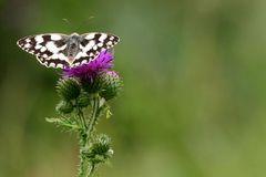 Schachbrettfalter beim nektarsammeln