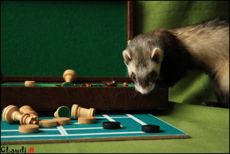 Schachmatt---Frettchen, Aragorn