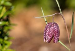 Schachtbrettblume