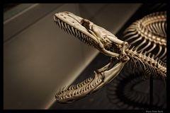 Schädel einer Python