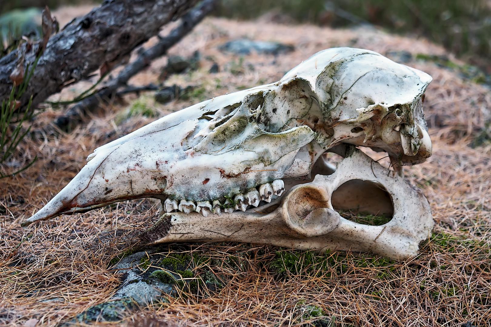 Schädel, Gebiss, Knochen... in einem abgelegenen Bergwald. Foto ...